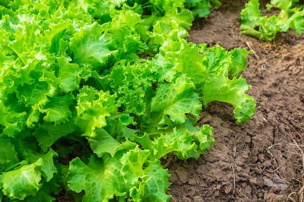 Organischer glaskopfsalat gesundes gemüse