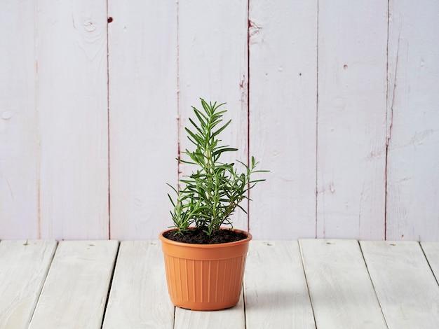 Organischer rosmarin gepflanzt in den töpfen gesetzt auf einen weißen bretterboden mit einem kopienbereich.