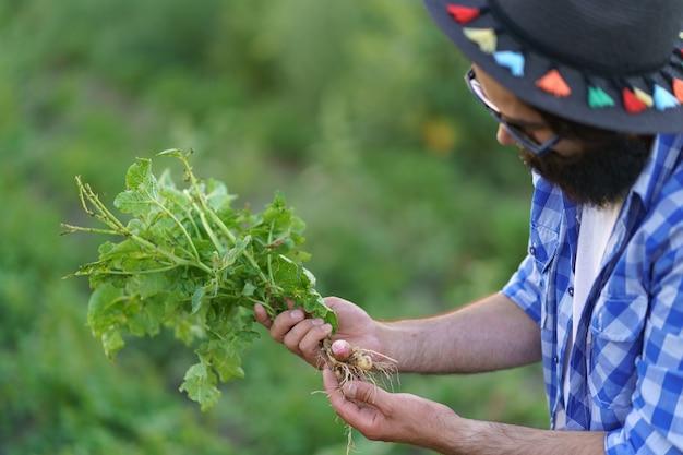 Organisches gemüse. bauernhände inspizieren junge kartoffelpflanzen. frische biokartoffeln
