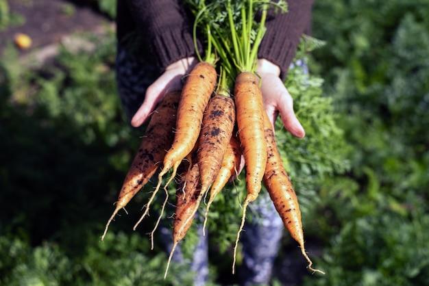 Organisches gemüse. frische ungewaschene karotten in den händen von bäuerinnen. karotten ernten
