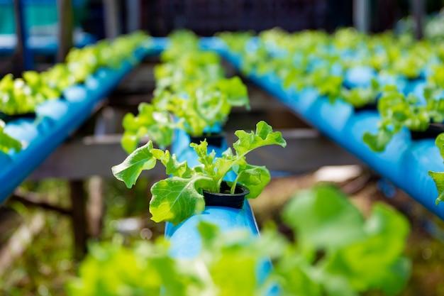Organisches gree eichengemüse im wasserkulturbauernhofsystem bei tome, indem diy wasserleitungen verwendet werden.