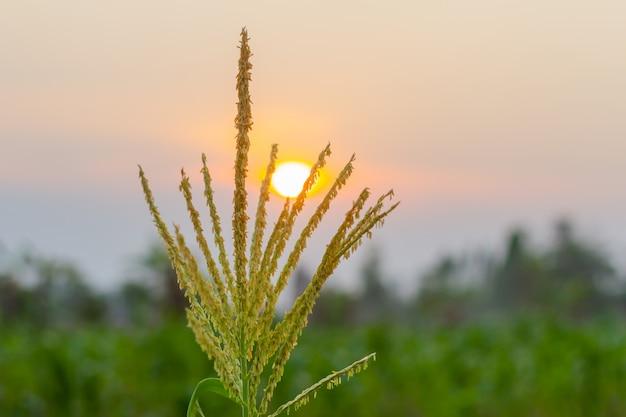 Organisches junges maisfeld am landwirtschaftlichen bauernhof im abendsonnenuntergang