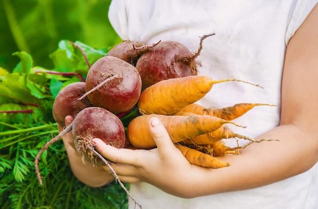 Organisches selbst gemachtes gemüse erntet karotten und rote rüben