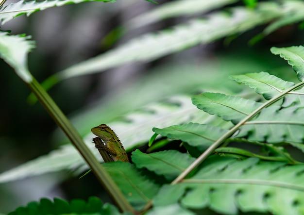 Orientalische garteneidechse, östliche garteneidechse, veränderbare eidechse (calotes mystaceus) im wald. reptilien tier. grüne und braune eidechse. chamäleon auf den niederlassungen im wald. tierisches wildes leben.