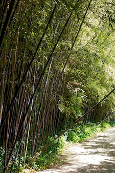 Orientalischer bambuswald bei tageslicht