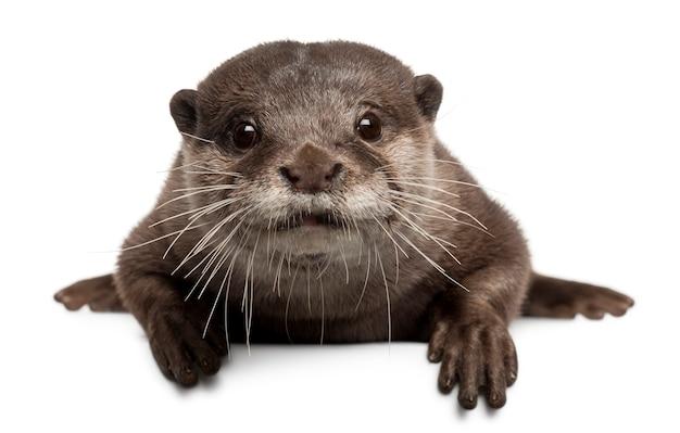 Orientalischer otter mit kleinen krallen, amblonyx cinereus stehend auf weiß isoliert