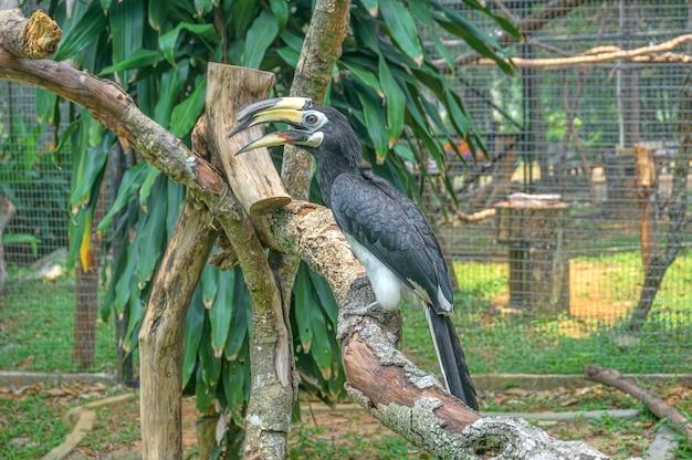 Orientalischer rattenhornvogel (anthracoceros albirostris)