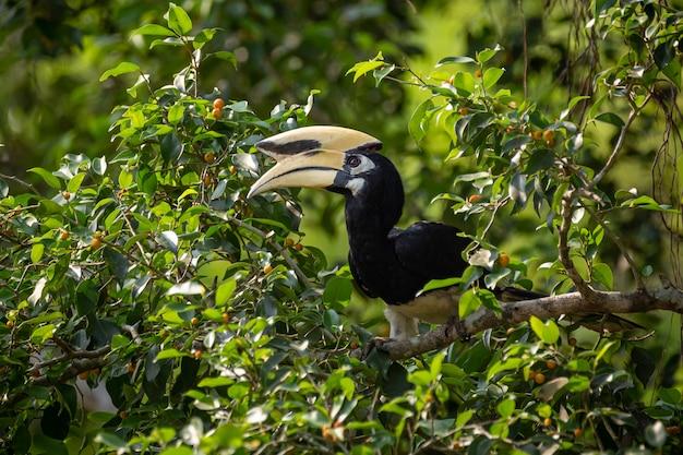 Orientalischer rattenvogel (anthracoceros albirostris) im kaeng krachan national park