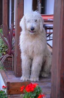 Original ungarischer hund