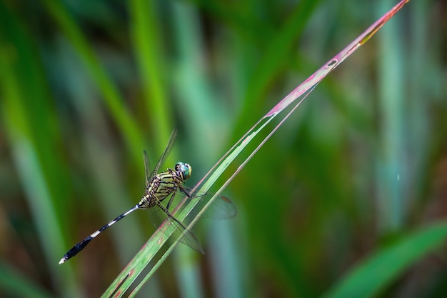 Orthetrum sabina. grüne tiger skimmeri libelle auf gras.