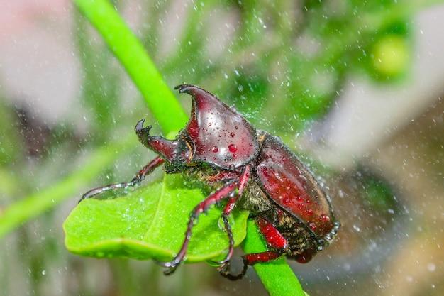 Oryctes nashorn im regenmoment
