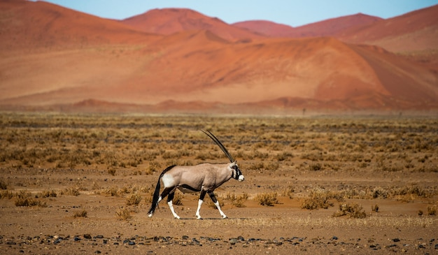 Oryx-antilope in der wüste sossusvlei