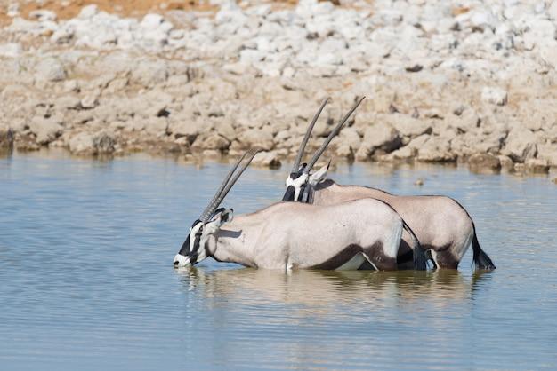 Oryx, der bei tageslicht vom okaukuejo-wasserloch trinkt. wildlife safari im etosha national park, dem hauptreiseziel in namibia, afrika.