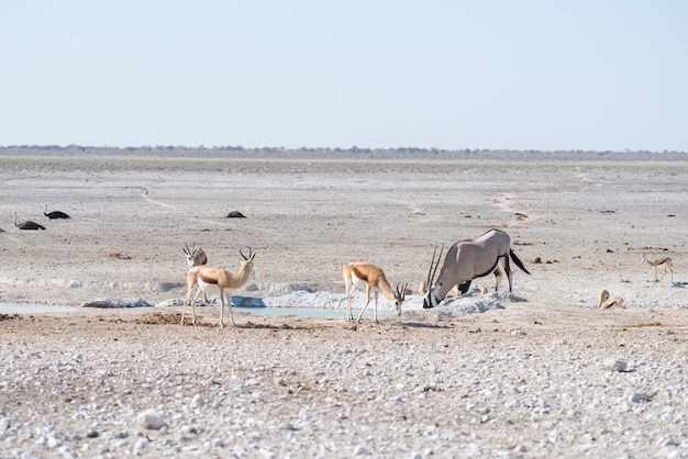 Oryx, der in der afrikanischen savanne, der majestätische etosha-nationalpark, bestes reiseziel in namibia, afrika steht.