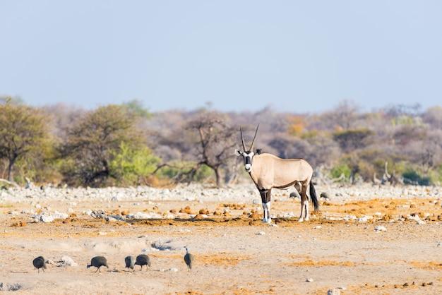 Oryx, der in der bunten landschaft des majestätischen nationalparks etosha, bestes reiseziel in namibia, afrika steht.