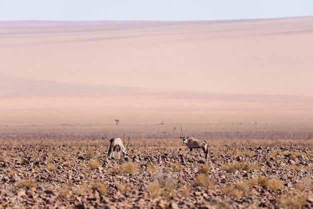 Oryx, der in der namibischen wüste, nationalpark namib naukluft, reiseziel in namibia, afrika weiden lässt.