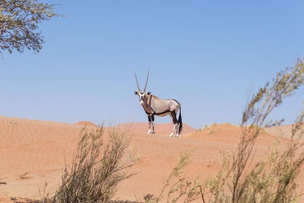 Oryx, der kamera in der bunten namibischen wüste des majestätischen nationalparks namib naukluft betrachtet