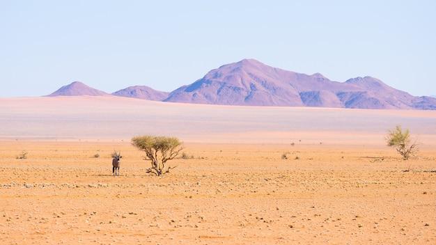 Oryx, der unter schatten des akazienbaums in der bunten namibischen wüste des majestätischen nationalparks namib naukluft, bestes reiseziel in namibia, afrika stillsteht.