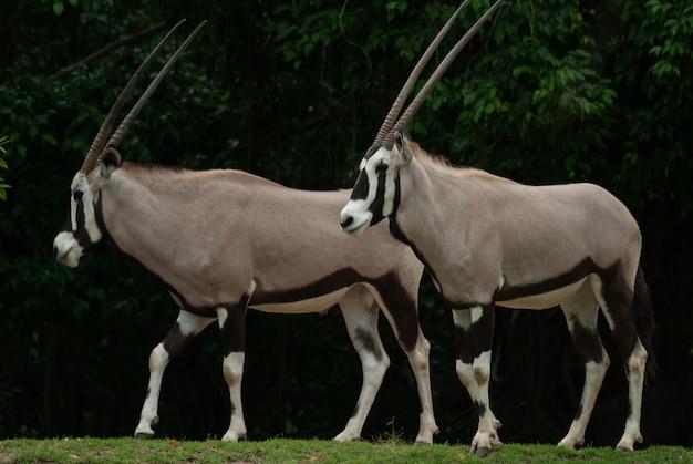 Oryx, gemsbok (oryx gazella), der in der wildnis für ausgestorben erklärt wurde.