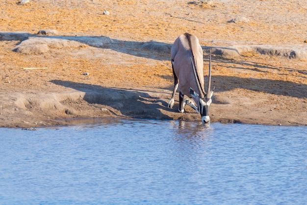 Oryx kniet und trinkt bei tageslicht aus dem wasserloch. wildlife safari im etosha national park, dem hauptreiseziel in namibia, afrika.