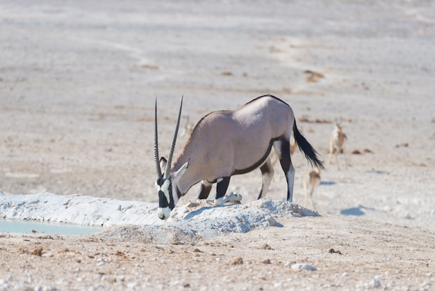 Oryx kniet und trinkt bei tageslicht aus dem wasserloch