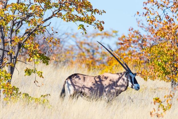 Oryx versteckt sich im busch.