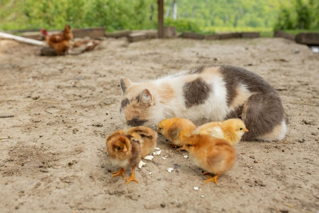 Osterhühnchen essen mit freundlicher katze.