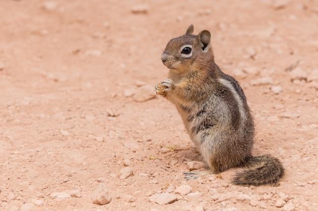 Oststreifenhörnchen, das auf einem roten boden in nationalpark bryce-schlucht, usa steht.