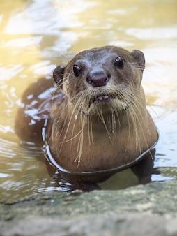 Otter porträt