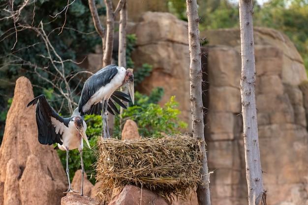 Paar afrikaner marabou, leptoptilos crumeniferus, sein nest auf einem felsen anordnend.