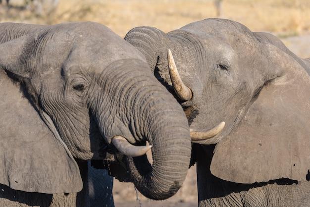 Paar afrikanische elefanten, jung und erwachsen, am wasserloch.