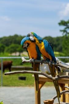 Paar ara papageien in freier wildbahn zwei papageien erzählen geheimnisse