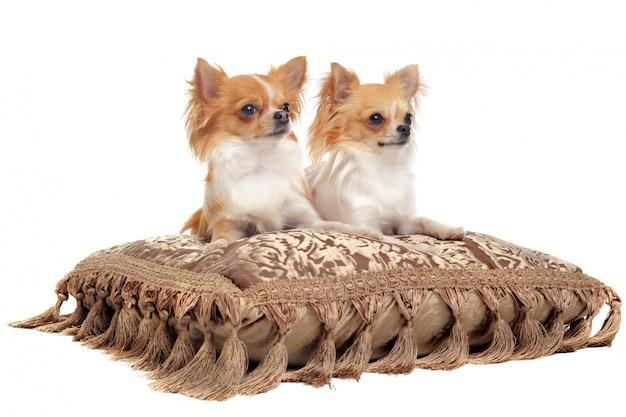 Paar chihuahua