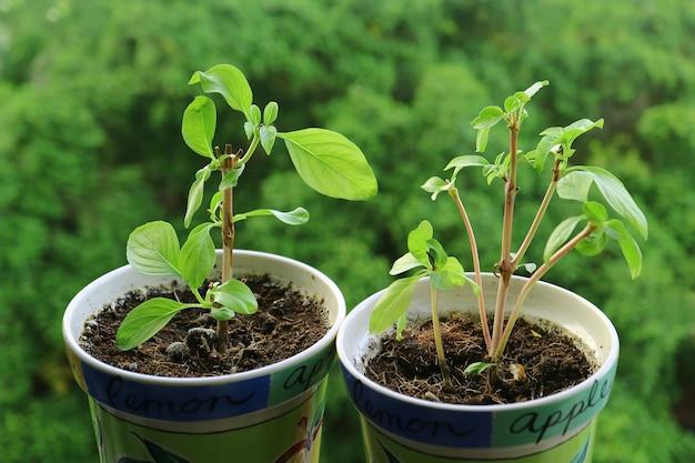 Paar eingetopfte thailändische süße basilikum-jungpflanzen, die durch das küchenfenster wachsen