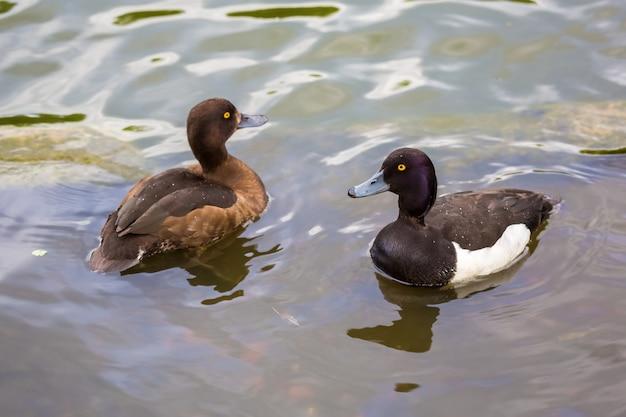 Paar enten büschelige ente, die in einem see schwimmt.