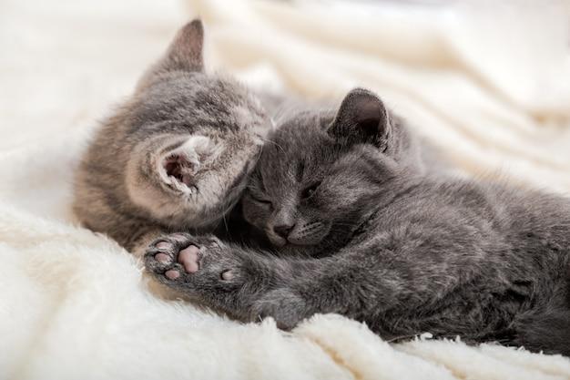 Paar flauschige kätzchen entspannen sich auf weißer decke. kleines baby grau und tabby entzückende katze verliebt, die zu hause schläft. kätzchen haben ruhe. tierhauskatzen liegen auf dem bett.