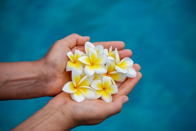 Paar frauenhände, die weiße duftende blumen auf blauem swimmingpoolhintergrund halten. mädchenhände und tropische blumen der plumeria. nahaufnahme