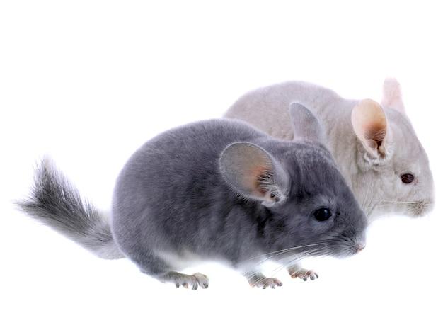 Paar graue ebonit-chinchilla auf weißem hintergrund. isoliert