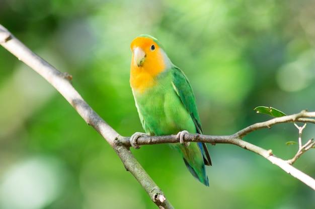 Paar lovebird