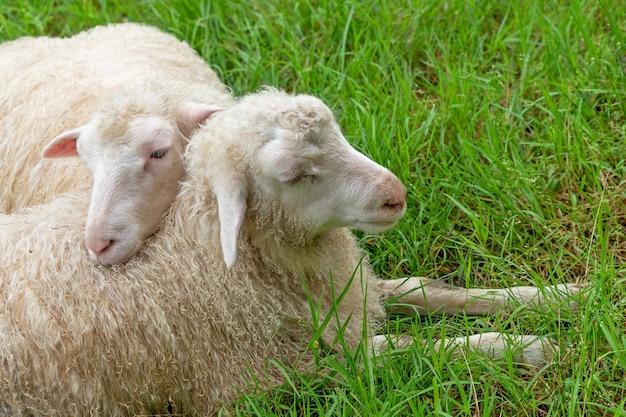 Paar niedliche schafe auf grünem gras