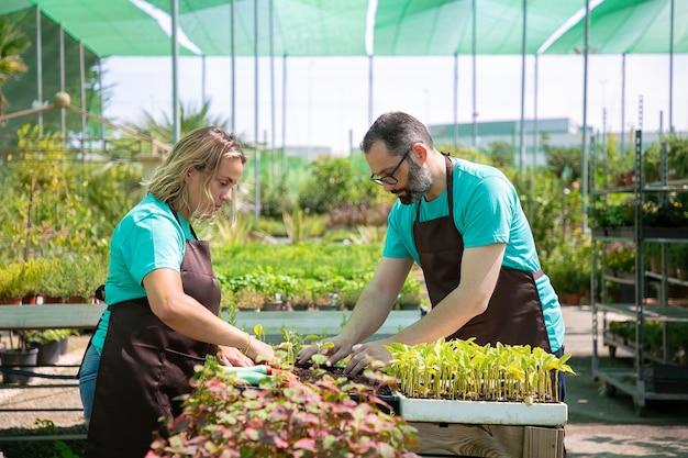 Paar professionelle gärtner, die sprossen in behälter mit erde im gewächshaus pflanzen. seitenansicht. gartenarbeit, kultivierung oder teamwork-konzept.