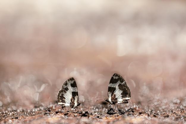 Paar schmetterlinge (elbowed pierrot) saugen mineral auf dem boden in der natur