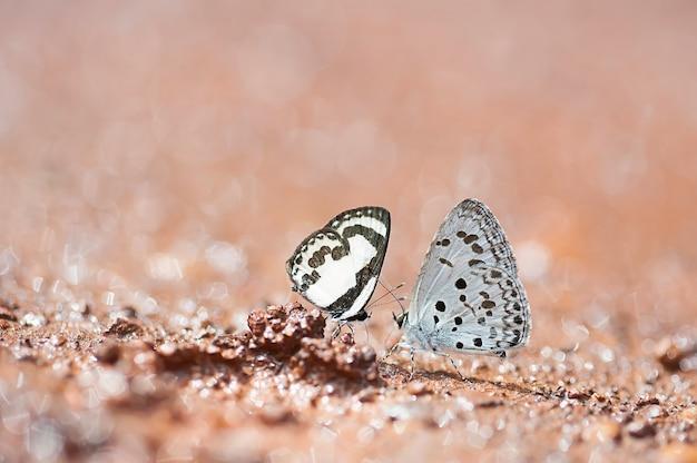 Paar schmetterlinge saugen mineral auf dem boden in der natur, liebhaberkonzept