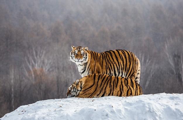 Paar sibirische tiger auf einem schneebedeckten hügel vor dem hintergrund eines winterwaldes. sibirischer tiger park