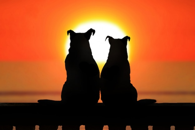 Paar von jack russell bei sonnenuntergang
