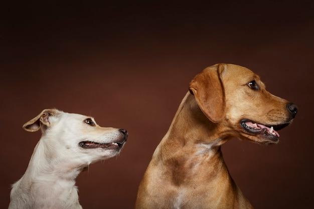 Paar von zwei ausdrucksstarken hunden, die im studio vor braunem hintergrund posieren