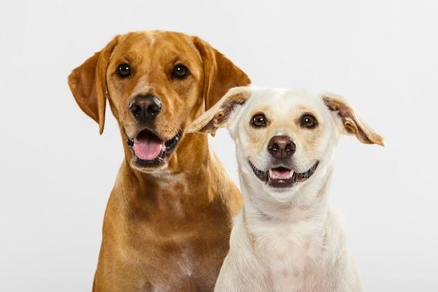 Paar von zwei ausdrucksstarken hunden, die im studio vor weißem hintergrund posieren