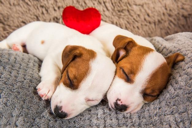 Paar von zwei lustigen verliebten jack russell terrier welpenhunden liegen nahe beieinander. valentinstag.