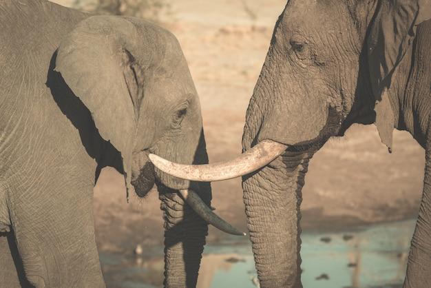 Paare des afrikanischen elefanten, jung und erwachsen, am waterhole.