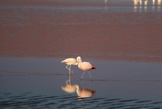 Paare des flamingos am laguna colorada oder an der roten lagune, salzsee in eduardo avaroa andean fauna